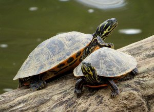 These river cooters are a common, colorful basking-type turtle.