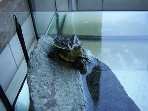 A bare-bottom tank is much easier to clean; substrates are usually for people, not turtles.