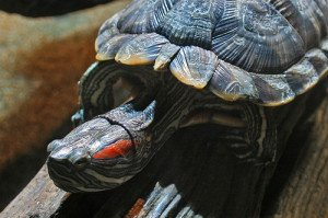 Red eared sliders live a long time, and thus require a long term commitment.