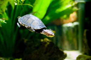 All About Aquatic Turtle Tanks!