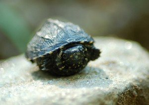 A tiny hatchling musk turtle found on a trail!