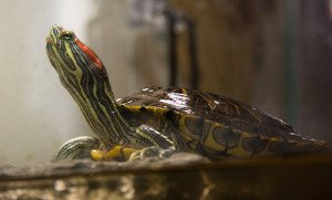 Red eared sliders are likely to remain popular for a very long time.