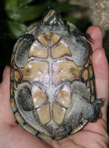 Underside of a musk turtle showing the reduced plastron typical of the genus.