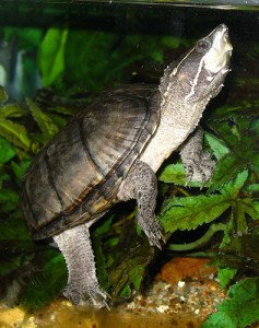 A mature musk turtle in a planted tank.