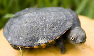 Types of Freshwater Aquatic Turtles