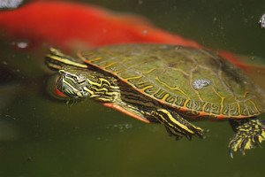 There are many aquatic turtles that make great pets, but stick with smaller species if space is an issue.