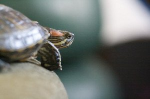 Pet turtles are not fragile, but should be handled infrequently to minimize stress.