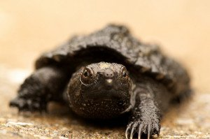 The common snapping turtle is a voracious predator.