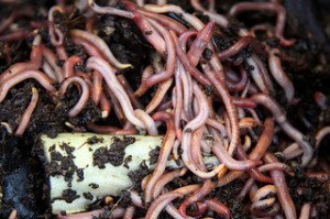 Earthworms, with their high calcium to phosphorous ratio, may be the perfect natural turtle food!