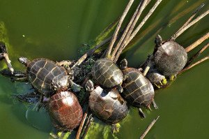Painted turtles crowding on a basking island composed of floating reeds.