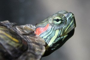 All About Red Eared Sliders