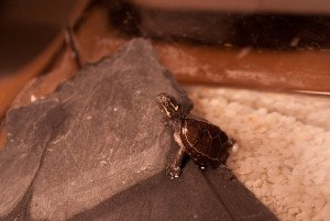 Hatchling musk turtles should be kept in shallow, slow-moving water.