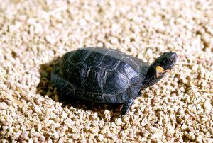 The bog turtle is highly vulnerable to upland habitat degradation.