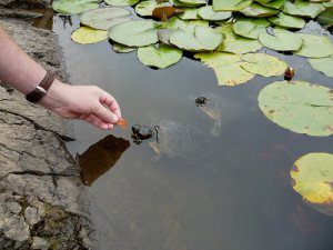 Red eared sliders can become quite tame, especially if food is involved!