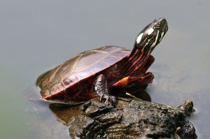 Painted Turtles as Pets
