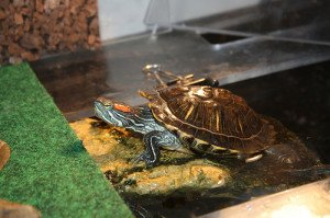 Red eared slider coming out to bask.