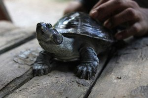 Turtles make great pets the require minimal care.