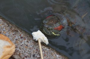 Most pet turtles are very comfortable accepting food from your hand.