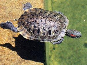 Watching aquatic turtles swim can be mesmorizing.