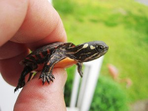 This tiny hatchling is cute, but keep it away from young children that may want to see what they taste like!